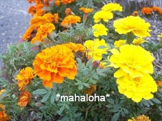 Marigoldflower