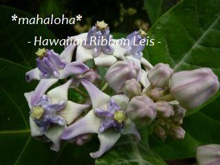 Crownflower110505